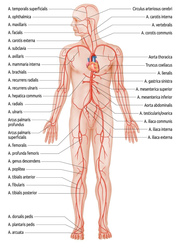 Berühmt Anatomie Organsysteme Fotos - Menschliche Anatomie Bilder ...